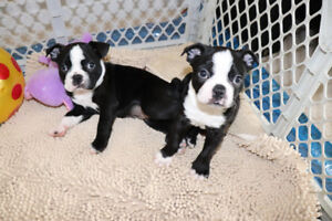 SOLD Purebred Boston Terriers  - super sweet