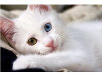 Pure white heterochromia iridis kittens