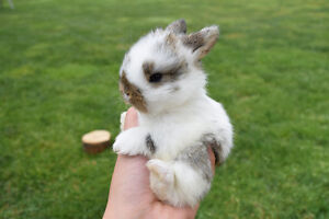 Pure bred baby Holland Lop bunnies for sale