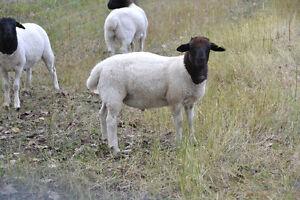 Sheep - Dorper Ram Lambs Regina Regina Area image 3