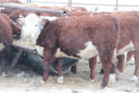 Wanted bred heifers or young cows