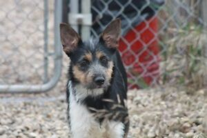 ADOPTABLE BEARDED COLLIE TERRIER CROSS 8MNTHS OLD OR CO. OF 2O!