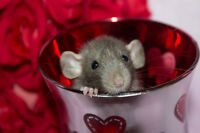 Baby Dumbo Rats