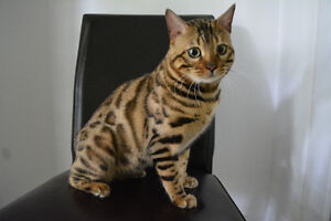 2 yr old male brown rosetted bengal