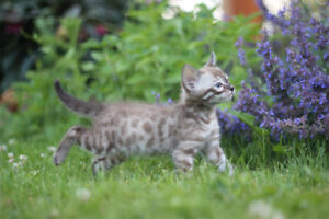 TICA Charcoal Snow Bengal babies available for application!