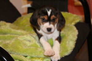 1 Beautiful Beagle Puppy just one girl left.