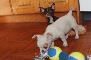 Chihuahua puppies London Ontario image 6