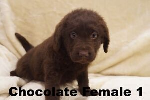 F1 Medium Chocolate Labradoodle Puppies - Ready This Weekend Bathurst Bathurst City Preview