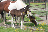 REGISTERED APHA MARE AND COLT