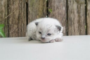 PEDIGREE RAGDOLL KITTENS RED POINT AND SEAL POINT BOYS Pleasure Point Liverpool Area Preview