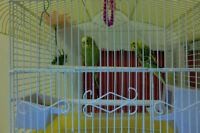 Female and male budgies for just 80$