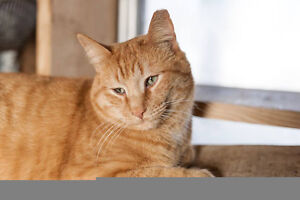 Cats and Kittens for Adoption! Sarnia Sarnia Area image 6