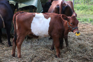 Canadiene Dutch Belted Cross Heifer