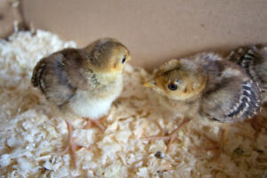 Ring Neck Pheasant Chicks for Sale