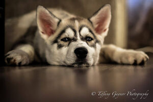 Siberian Husky Breed