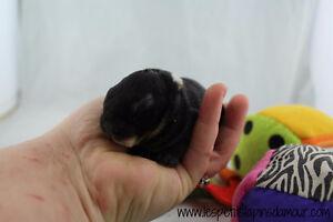 Bébés Lapins Mini-Rex (Nains)-Les Petits Lapins d'Amour Saguenay Saguenay-Lac-Saint-Jean image 6
