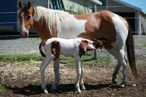 The Best of Both Breeds; Warmblood Paint Cross