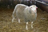 Rams! For the upcoming Sheep Breeding Season on Sale Now!!!