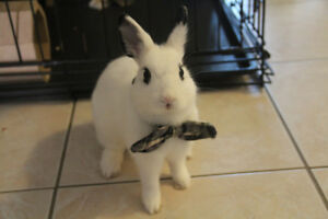 Adorable Dwarf Hotot male rabbit for rehoming!