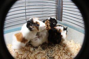 Pet Guinea Pigs, Hamsters, Rabbits, Gerbils, Chinchilla, Guppies