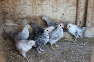 Bantam Chicks