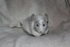 NEW BABY CHINCHILLAS!!!!!!!!!!!!!!!!!!!!!!!!!!!!!!!!!!!!!!