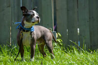 Boston terrier croisé shitzu pour adoption (Refuge Animadoption)
