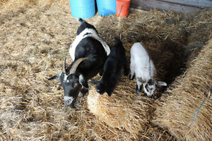 Miniature mother Goat and two kids for sale!
