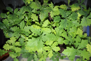 TRUFFLE HOST TREES AVAILABLE FOR SPRING PLANTING
