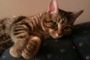 Tabby cat needs to be rehomed