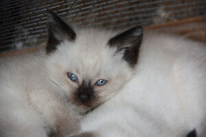 Balinese Kittens - ready now!
