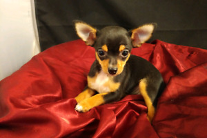 TEACUP CHIHUAHUA PUPPIES  FEMALES! READY NOW