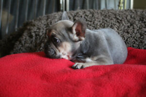 4 Pure Bred French Bulldogs For Sale 1 Male, 3 Females