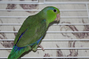 HAND FED CUTE BABY PARROTLETS !!!