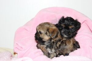 Female Morkies