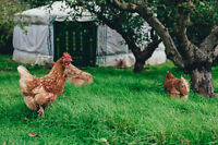 Backyard Chicken and Small Flock Care Workshop - Crossfield, AB