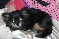 8 year old chihuahua needs home