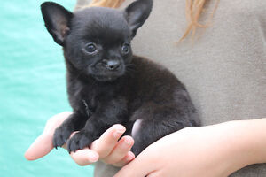 Stunning Male Chihuahua Puppy ~ Parents On Site