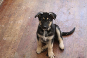 German Shepherd Puppies(GSD) Only 6 Remaining