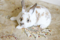 lion head and mini rex baby bunnies for sale