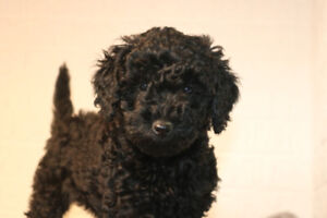 Miniature poodle Only 2 pups available