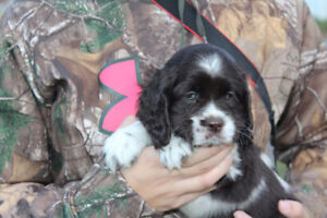 Cockers spaniels (this litter is all sold) Réservations