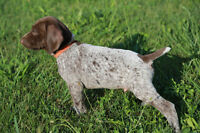 Puppies - German Shorthaired Pointer