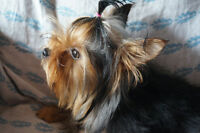 Ckc Reg. Yorkshire Terrier puppy