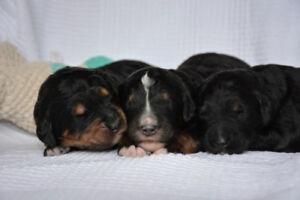 F1 Bernedoodle Puppies Tricolour