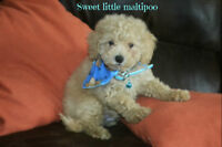 Malti poo puppies!!! Only 1 puppy left