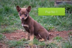 Purebred Kelpie puppies