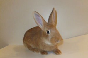 8 New Zealand Rabbits for sale