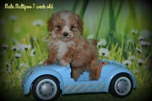 Maltipoo !! 3 male left ready may 7
