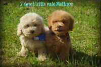 Malti poo puppies!!! Only 2 puppy left